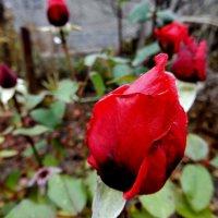 Поздние розы :: Владимир