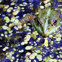 green frog in the lake, watching photographer :: valery60