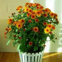 Осенний цветок :: татьяна