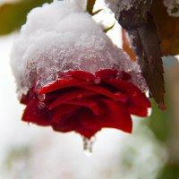 роза в снегу :: Елена Константиниди