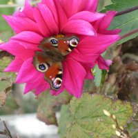 Бабочка Павлиний глаз на георгине :: Герович Лилия