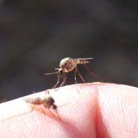 Укус комара :: Леонид Чащин