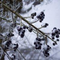 Леденцы из черноплодки :: Руслан Гончар
