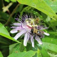 Пчелка :: Anna Kaminska