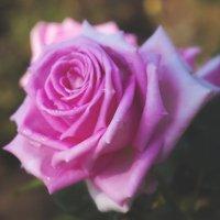 Роза :: Ksyusha Pav