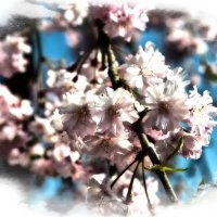 Сакура в цвету :: Alexander Dementev