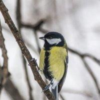 птичка-синичка :: Лариса Батурова