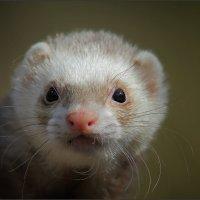 Хищный маленький зверёк... :: Александр Потапов