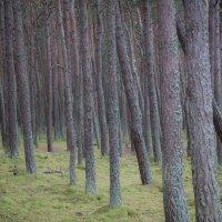 Пьяный лес :: Евгения Кирильченко