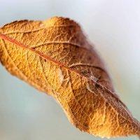 Лист яблони :: Сергей Козлов
