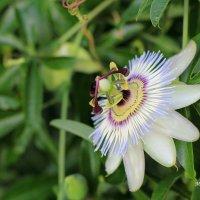 Пассифлора (Страстоцвет), (Passiflora).  – роскошная вечнозеленая лиана с невиданной красоты цветами :: Марина Щуцких
