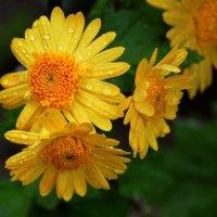 Солнечные цветы ноября :: Ольга Голубева