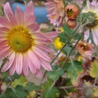 У нас всё ещё цветут хризантемы :: Нина Корешкова