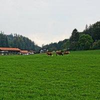 Немецкие коровы :: m&k As