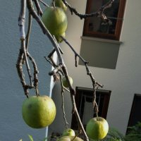 Яблоневая композиция :: kuta75 оля оля