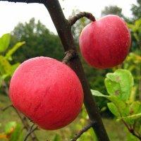 Лесные яблочки. :: оля san-alondra