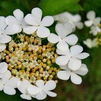Цветёт калина белым цветом... :: Светлана