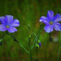 Цветы :: Сергей Чиняев