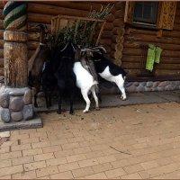Камерунские козы :: Вера