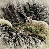 Овцы :: Alexander Dementev