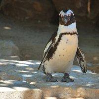 Пингвин. :: Константин Поляков