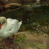Одинокий лебедь :: Антон Смольянинов