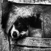 О чем молчишь, собака... :: Галина Еремина