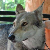 Волчья собака :: Алексей Цветков
