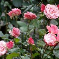 Октябрь,розовый куст... :: Тамара (st.tamara)