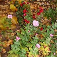 Хризантемы в нашем дворе :: Нина Корешкова