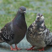 Любовь и голуби... :: kolin marsh