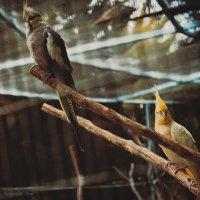 Попугаи :: Ksyusha Pav