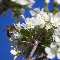 пчела, сбор пыльцы :: Александр Рождественский