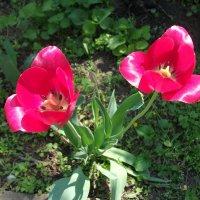 Тюльпаны :: Oleg Arince