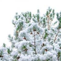 елочка в снегу :: Oksana Verkhoglyad