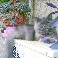 Персидская кошка - Снежка. :: Оля Богданович