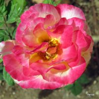 Осенняя роза. :: Валерьян