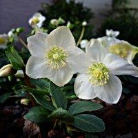 Schneerose- цветок декабря :: Galina Dzubina