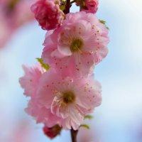 Цветет миндаль :: Olcen - Ольга Лён
