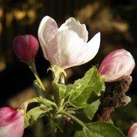 Яблони в цвету, любви круженье :: Регина Пупач