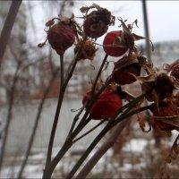 Шиповник зимой :: Нина Корешкова