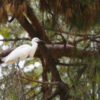 Малая белая цапля :: Мария Самохина