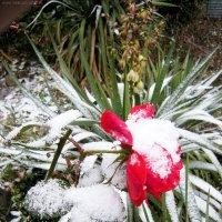 Алая роза в снегу :: Руслан Newman