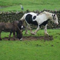 Два осла и лошадь :: Natalia Harries