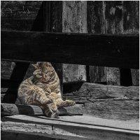 Швейцарский кот . Житель Церматта . :: Игорь Абламейко
