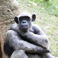 Шимпанзе :: Мария Самохина