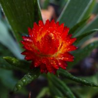 Пылающий цветок :: Геннадий Григорьев