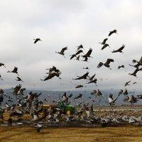 перелетные птицы в национальном птичьем заповеднике Хула расположенном на севере Израиля :: vasya-starik Старик