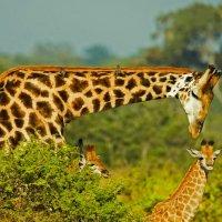 Мама-жираф с детками. Мгновения саванны :: Valentina Ariel