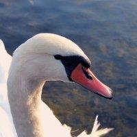 Лебедь :: Виктория Гринчук